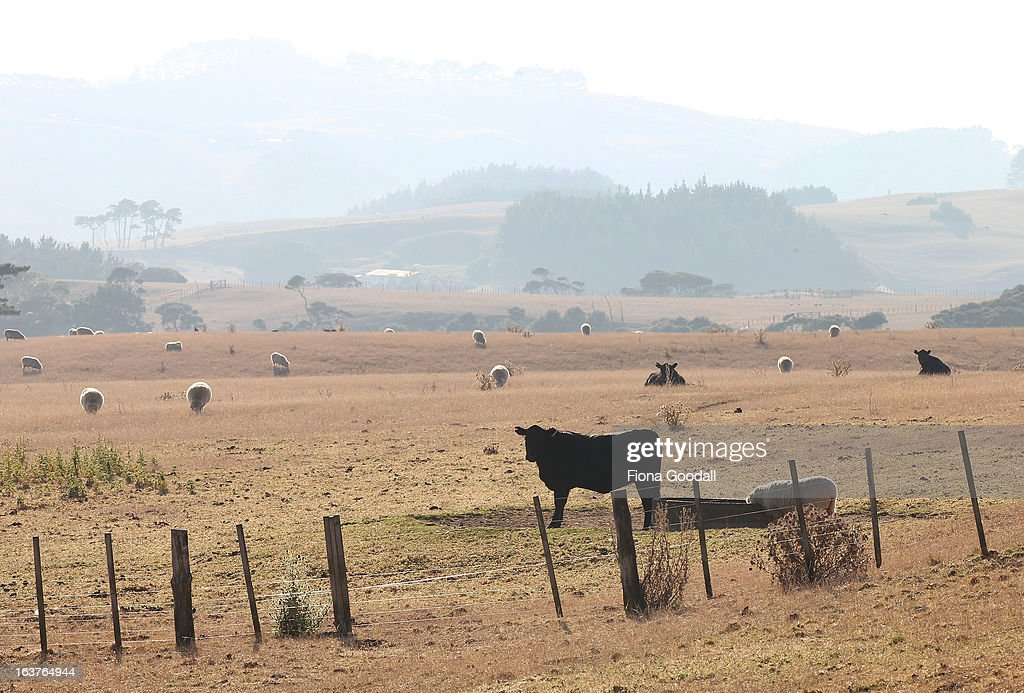 Cattle and sheep graze in rural Muriwai on Auckland's west coast on March 12, 2013 in Auckland, New Zealand. Drought was declared in several areas of New Zealand's North Island last week including South Auckland, Northland, Bay of Plenty and Waikato.