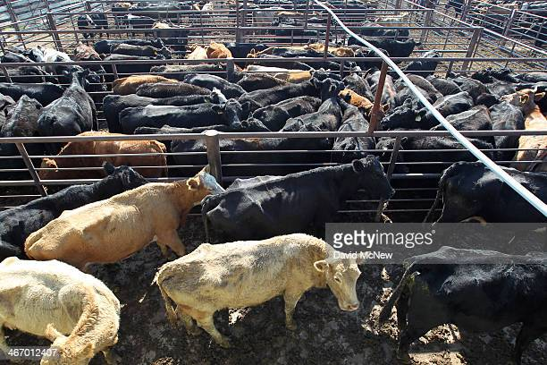 Cattle at Visalia Livestock Market are being auctioned off at four to fivetimes the usual rate on February 5 2014 in Visalia California Now in its...