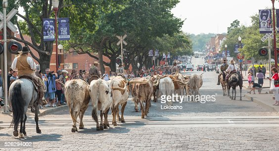 Cattle being driven down street of Forth Worth Stockyards