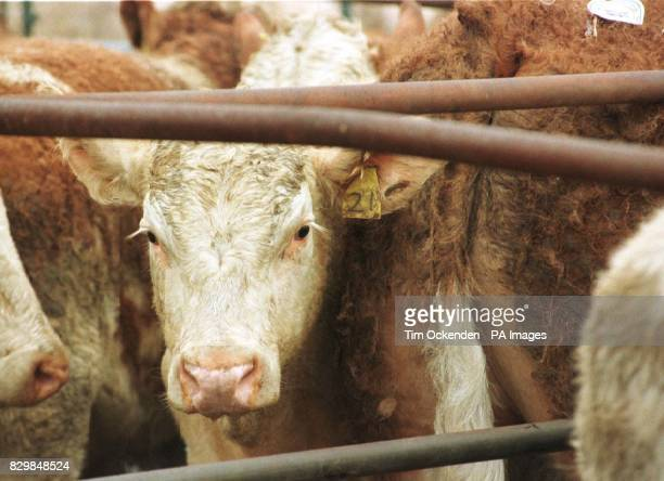 Cattle being taken for auction at Thame cattle market amid speculation over BSE 25/10/00 The report into the handling of the BSE crisis by the...