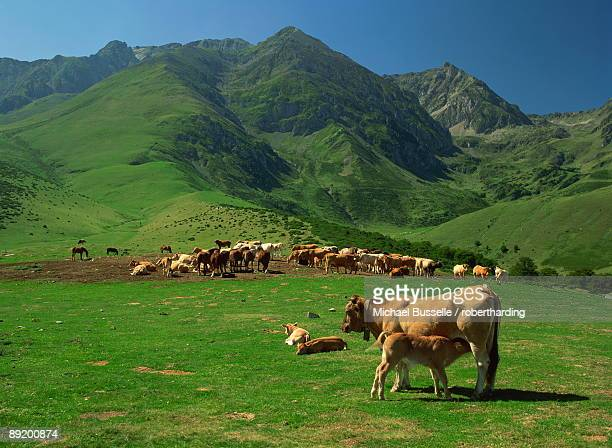 Cattle below mountain slopes near Arreau in the Pyrenees, Midi-Pyrenees, France, Europe
