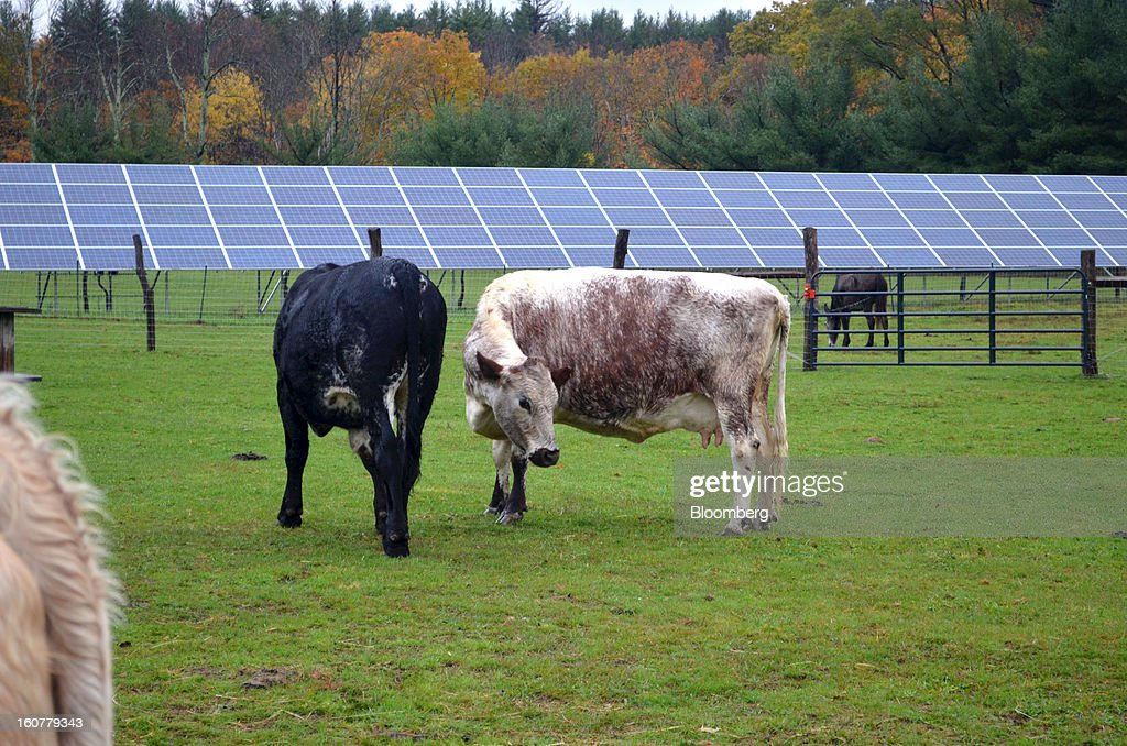 Cattle browse outside an array of solar panels at Woodstock Animal Farm Sanctuary in Willow, New York, U.S., on Friday, Oct. 19, 2012. Photographer: Mike Di Paola/Bloomberg via Getty Images