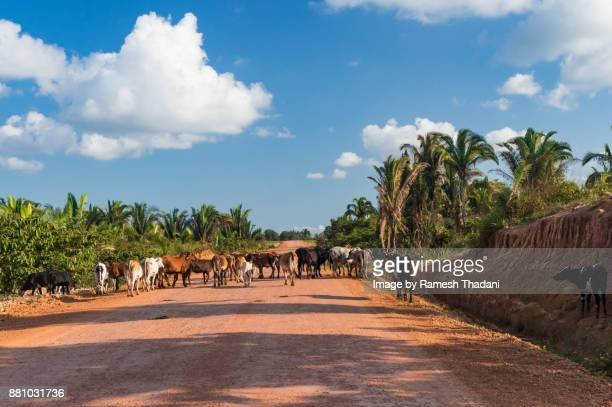 Cattle crossing a Highway - I