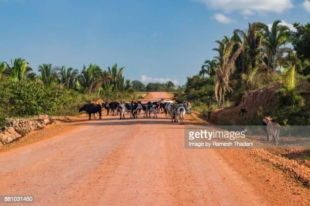Cattle crossing a Highway - II