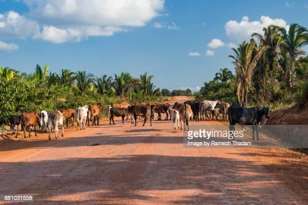 Cattle crossing a Highway - III