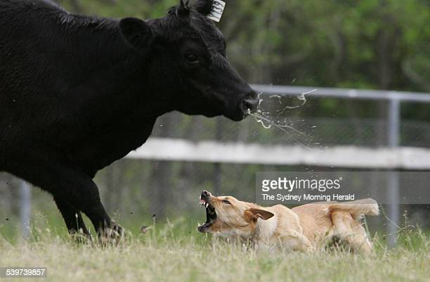 A cattle dog works with the livestock during the Australian Cattle Dog Trials Championships held at the Gundy Showgrounds near Scone in the NSW Upper...