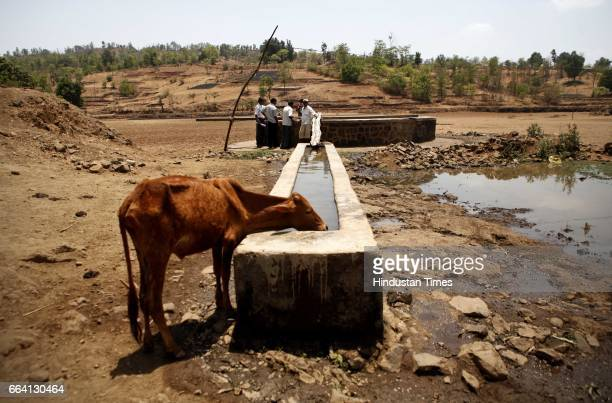 Cattle drinks water at Dengachi Met village in Jawhar taluka where villagers have built water storage for livestock