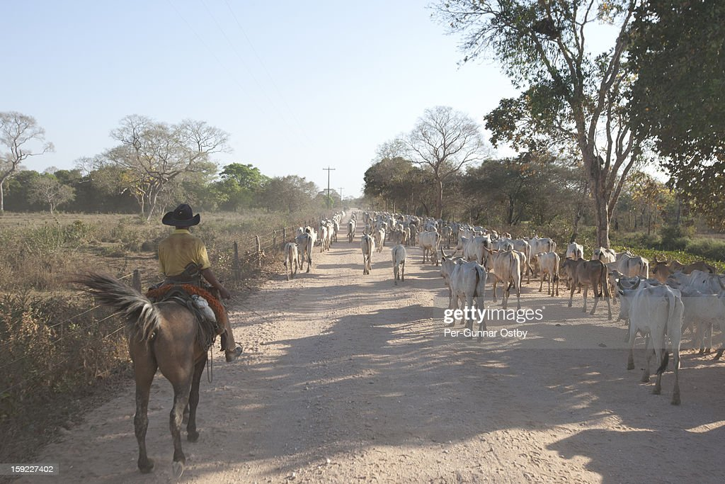 Cattle Drive : Stock Photo