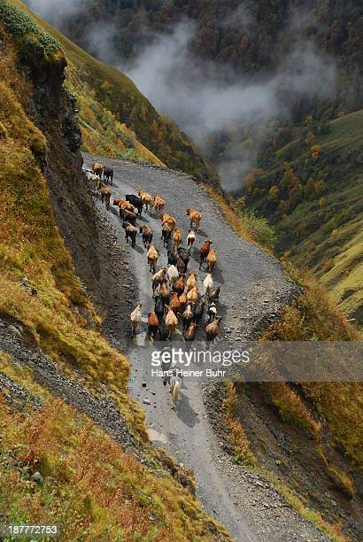 Cattle drive Tusheti in Georgia Caucasus