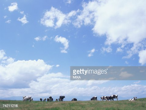 Cattle eating grass in field : Stock Photo