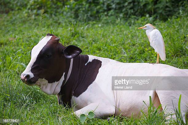 Cattle Egret standing on cow