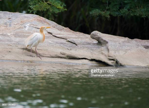 Cattle egret walking towards water for a drink