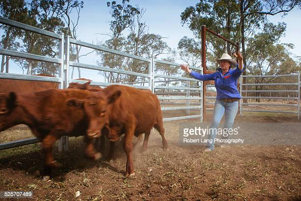 Cattle farming, Queensland Australia