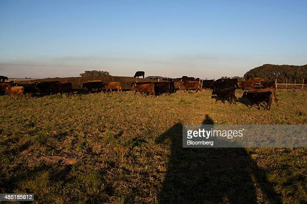 Cattle feed in a pasture at the Estancia La Argentina farm in San Antonio de Areco Argentina on Friday July 24 2015 Argentina can resume beef exports...