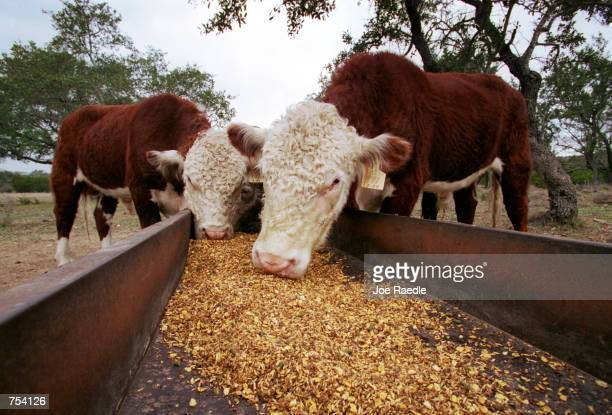 Cattle feed on their meal on the Storm ranch near Austin Texas February 7 2001 Texas is the number one cattleproducing state in the nation
