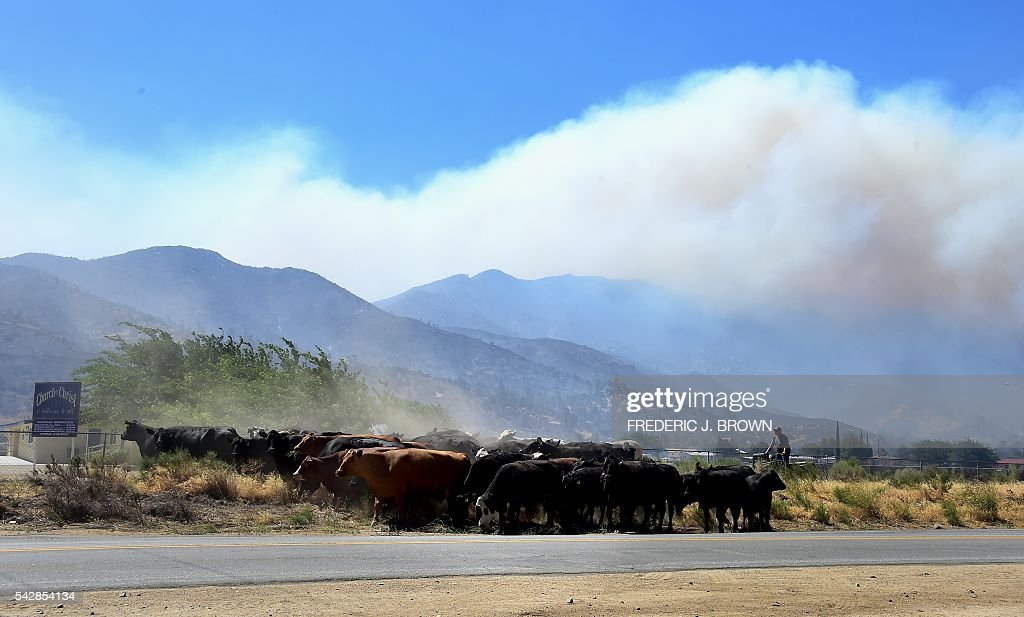 Cattle from the Kissack Ranch are herded from their grazing pastures down closer to the lake in Lake Isabella, California on June 24, 2016. An intense wildfire broke out yesterday afternoon scorched dozens of homes and structures in this mountainous community northeast of Bakersfield in Kern County. / AFP / FREDERIC