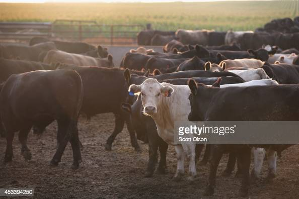 Cattle gather for their morning feeding on a farm on August 9 2014 near Osage Iowa In retaliation for sanctions imposed on them Russia announced a...