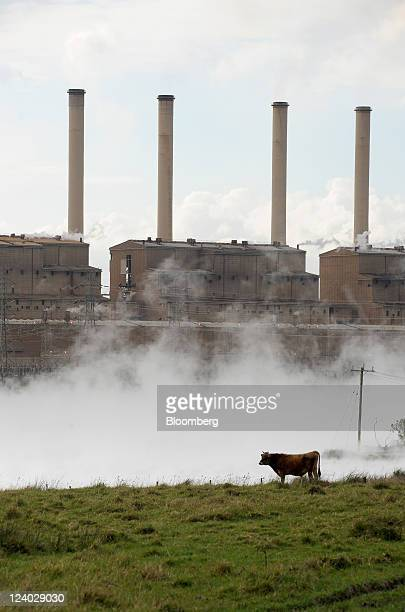 Cattle graze as steam rises from the cooling pond outside International Power Plc's Hazelwood coalfired power station in the Latrobe Valley Australia...