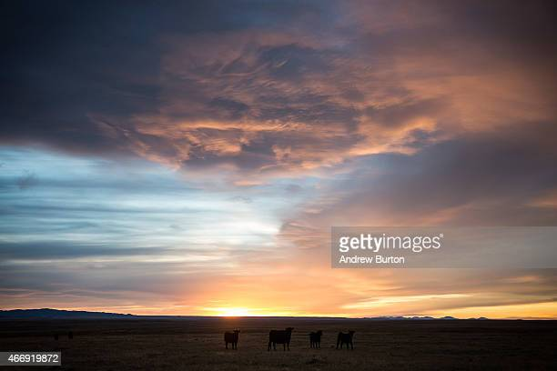 Cattle graze at sunset on October 14 2014 west of Glasgow Montana Proponents of the proposed Keystone XL pipeline argue that the region would see an...