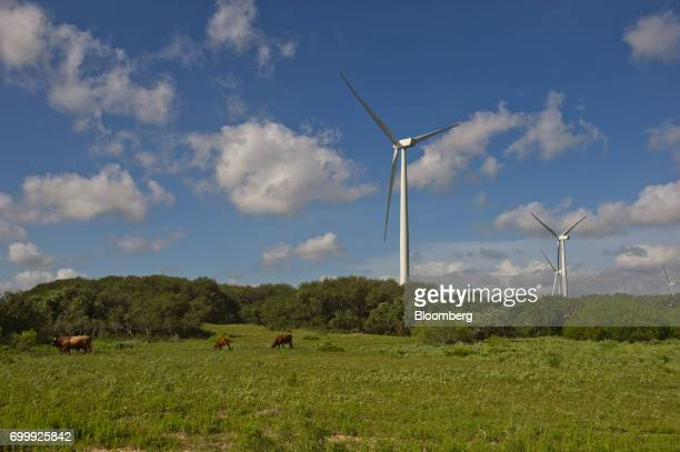 Cattle graze near wind turbines at the Avangrid Renewables' Baffin Wind Power Project in Sarita Texas US on Wednesday June 14 2017 In the cutthroat...
