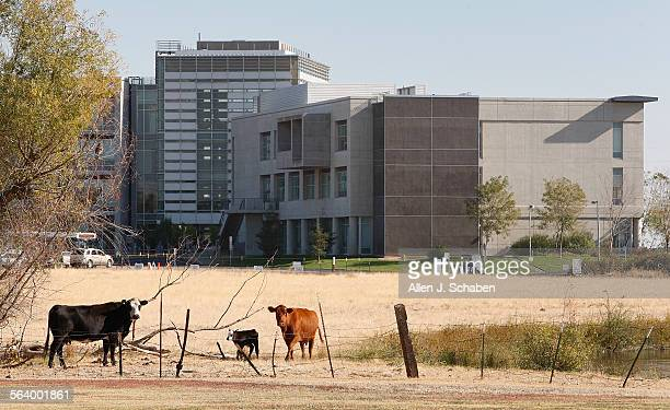 Cattle graze on farm land surrounding the University of California Merced Oct 26 2012