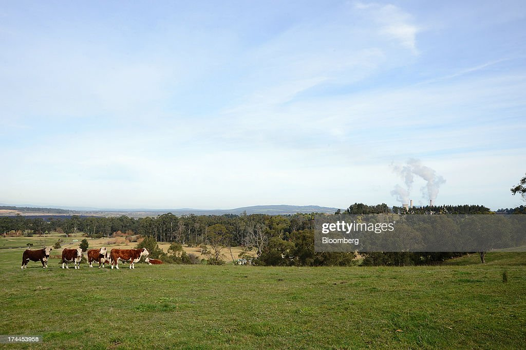 Cattle graze on farmland surrounding TRUenergy Holdings Pty's Yallourn coal-fired power station, right, in Yallourn, Australia, on Thursday, July 25, 2013. Australian Prime Minister Kevin Rudd will cut spending and limit tax concessions to fund a move to emissions trading a year ahead of schedule, should his Labor government win this year's election. Photographer: Carla Gottgens/Bloomberg via Getty Images