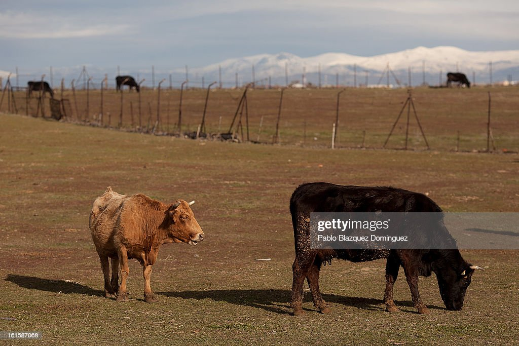 Cattle graze on pasture at the location where the proposed Eurovegas complex will be built on February 10, 2013 in Alcorcon, near Madrid, Spain. Controversial plans have been given the go ahead for the Las Vegas Sands Corporation to build Europe's biggest casino and conference centre on the outskirts of Madrid bringing thousands of much needed jobs for the Spanish economy. As multi billionaire investor Sheldon Adelson's announced his plans protestors were claiming that the 36,000 room hotel complex would bring gambling addiction, criminal activity, prostitution and environmental damage to the area.