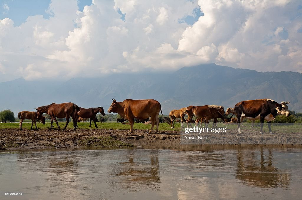 Cattle graze on the dried portion of the polluted lake on September 19, 2012 in Wular 75 km (46 miles) north of Srinagar, the summer capital of Indian administered Kashmir, India. Wular Lake, one of the largest freshwater lakes in Asia, is located in the north of Indian administered Kashmir. The Lake, which acts as a natural flood reservoir for the River Jehlum, has shrunk to about a quarter of its original size largely due to siltation from rivers feeding into the lake and human encroachments. Due to human interference, there has been severe depletion of some important endemic and endangered plants. Wular Lake looks more like a flat marshy plain than a large lake now because it is silting up rapidly due to run-off from its denuded catchment.
