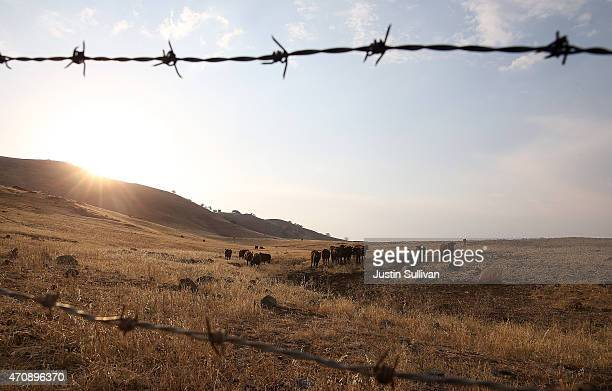 Cattle grazes on dead grass in the hills surrounding Lake Success on April 23 2015 in Porterville California Over 300 homes in the California central...