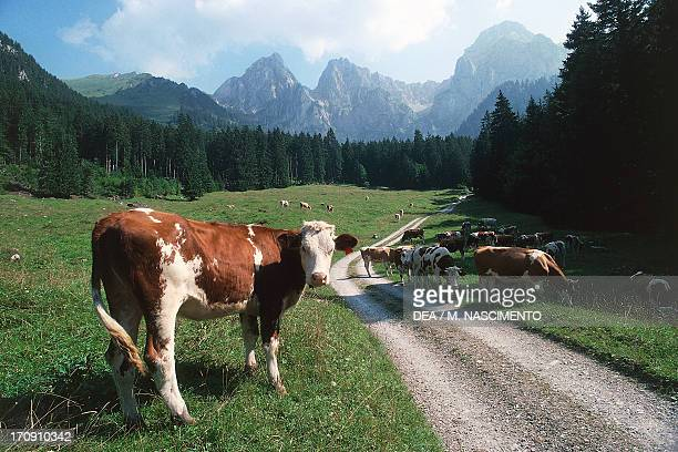 Cattle grazing at La Pierreuse Nature Reserve Gruyeres Pays d'Enhaut Nature Park Vaud Switzerland