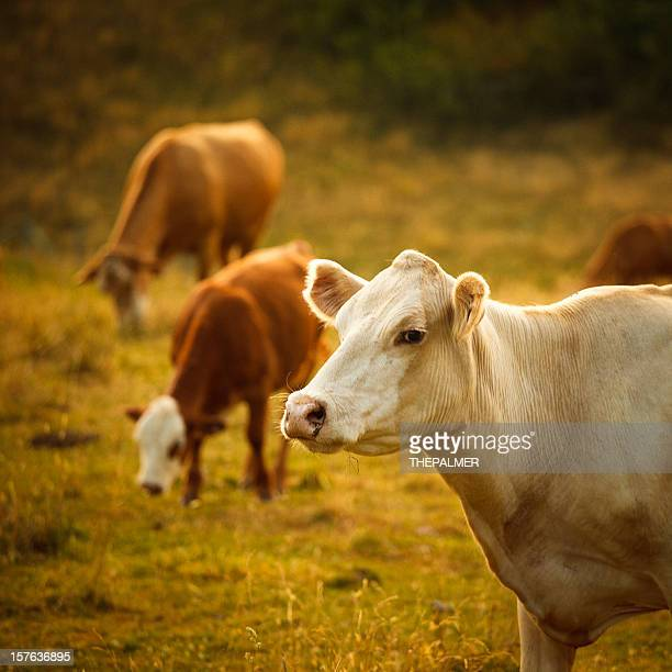 cattle grazing in a small valley