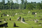 Cattle grazing in pasture formed by cleared rainforest land with tree stumps left Amazon region Pará Brazil