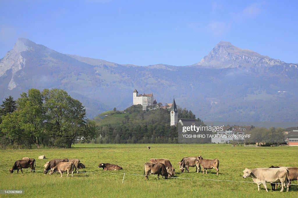 Cattle Grazing Near Castle : Stock Photo