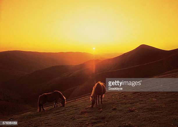 Cattle grazing on a hill during sunset