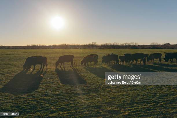 Cattle Grazing On Field Against Sky During Sunset