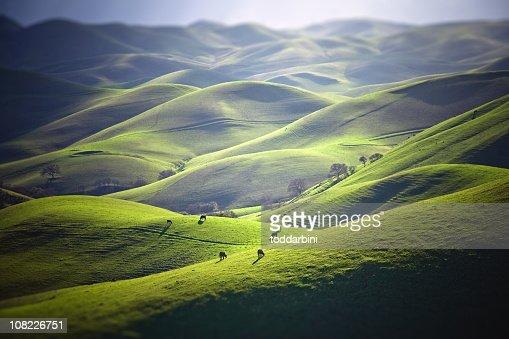 Cattle Grazing on Grassy Hills