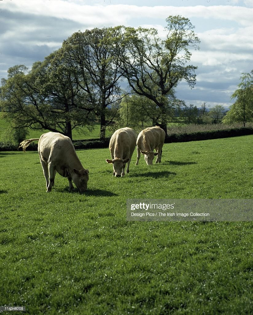 Cattle Grazing : Stock Photo