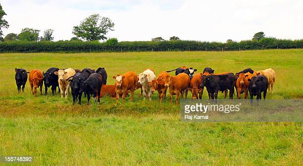 Cattle Herd in field