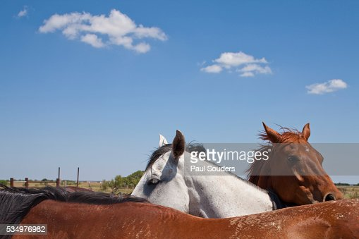 Cattle Horses, Chilicothe, Texas