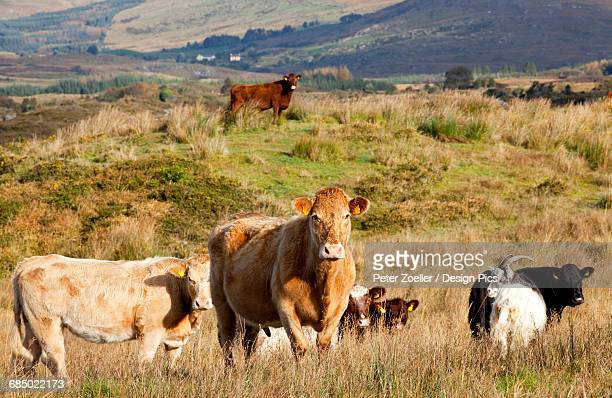 Cattle in a pasture, near Sneem