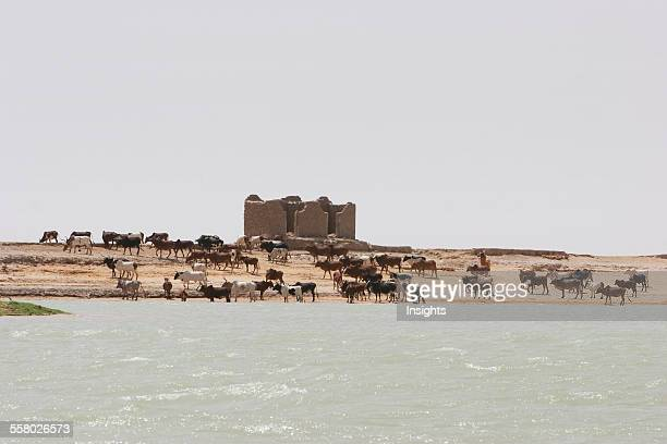 Cattle in a village along the shores of the Niger River between Mopti and Lake Debo Mali