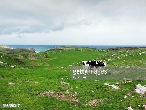 Cattle in Cantabria