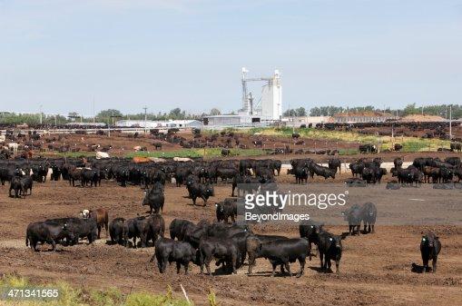Cattle in dry outdoor Kansas feedlot