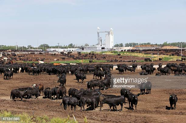 Cattle in dry outdoor Kansas feedlot