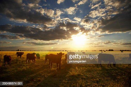 Cattle in field, sunset