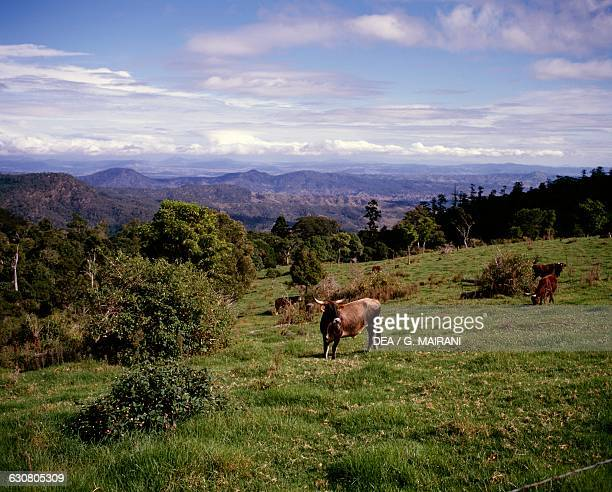 Cattle in the Lamington national park Queensland Australia