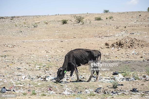 Cattle is seen as it has difficulties to find water due to elevated temperature and drought at Lindlay town in Free State South Africa on January 14...