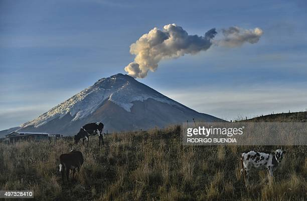 Cattle is seen with the Cotopaxi volcano spewing ashes in the background on October 30 2015 in Cotopaxi province Ecuador AFP PHOTO/Rodrigo BUENDIA