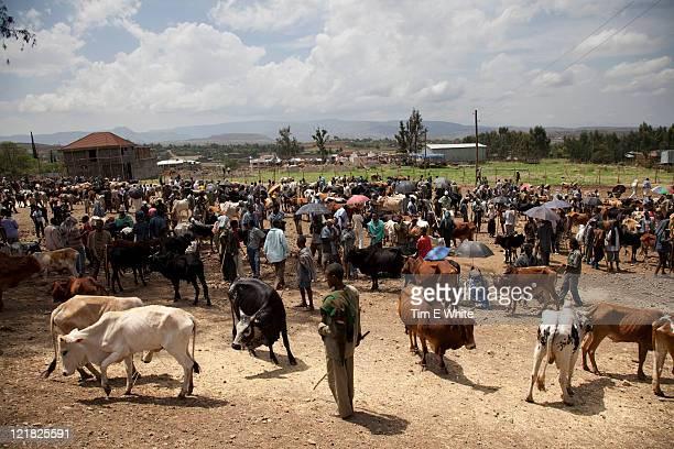 Cattle market (Bos primigenius), Gondor, Ethiopia, Africa
