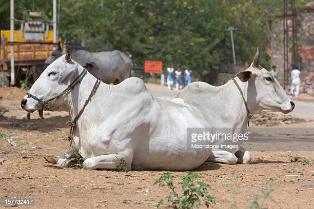 Cattle of Sawai Modhopur in Rajasthan, India